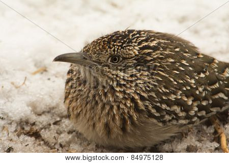 Closeup of a Greater Roadrunner squatting down in snow, waiting for prey