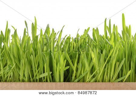 fresh oat sprouts border in box, isolated
