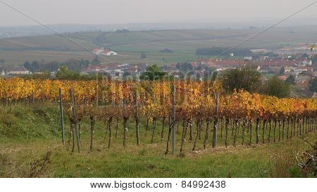 Autumn In The Vineyard, Lower Austria