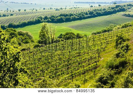 view of vineyard Jecmeniste, Znojmo Region, Czech Republic