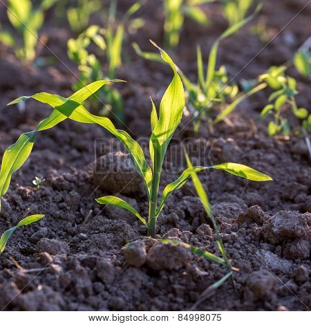Young Corn Seedlings
