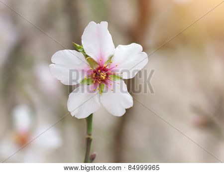 Branch of spring almond. White flower tree. Nature composition.