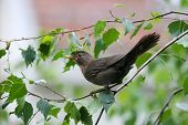 pic of brown thrush  - A side view of a blackbird standing on a birch tree branch in nature - JPG