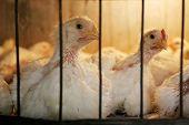 stock photo of hatcher  - A close up of two hens in a coop on a chicken farm - JPG