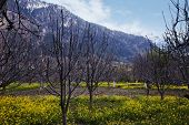 image of himachal pradesh  - Mustard fields with mountains in the background - JPG