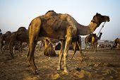 image of camel-cart  - Camels at Pushkar Camel Fair - JPG