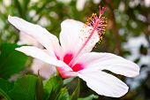 foto of stamen  - Large hibiscus flower with pink - JPG