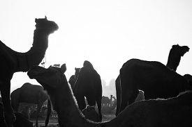 stock photo of camel-cart  - Camels at Pushkar Camel Fair - JPG