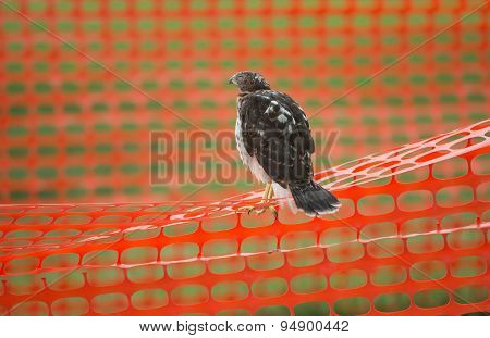Juvenile Cooper's Hawk On Construction Fence