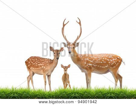 Beautiful Sika Deer