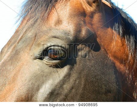 Beautiful stallion horse with sad brown eyes