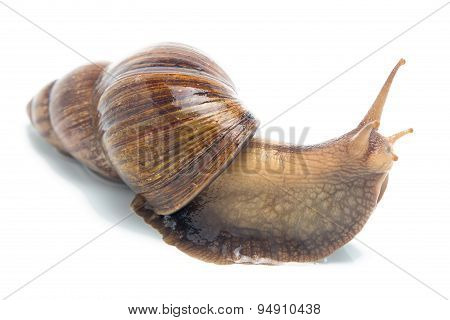 Isolated photo of big snail