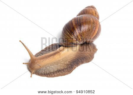 Image of brown snail