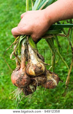 Hand Holding Freshly Dug Onion Bulbs