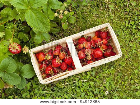full basket of strawberries and strawberry plants, top view