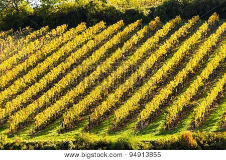autumnal vineyard near Falkenstein, Lower Austria, Austria