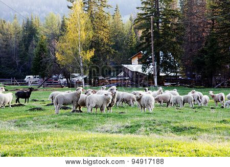 Sheep Grazing On The Grass