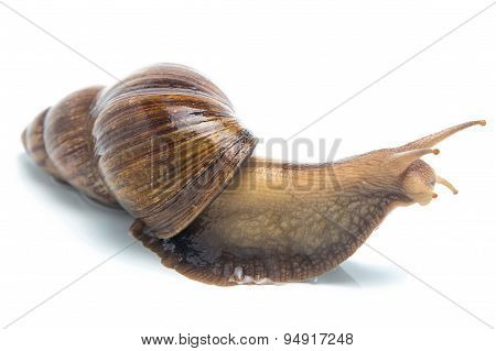 Isolated image of big snail