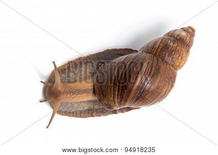 Image of Achatina on top