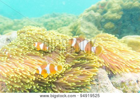 Clownfish Swimming In Tentacles Of Its Anemone Home.