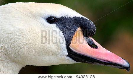 Mute Swan portrait, Cygnus olor