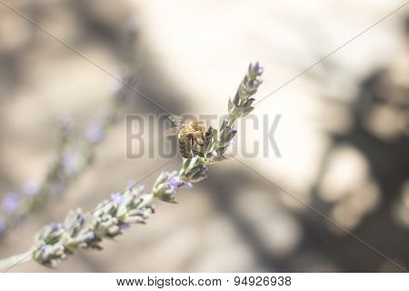 Lavendar Herb Bush Honey Bee Sucking Nectar