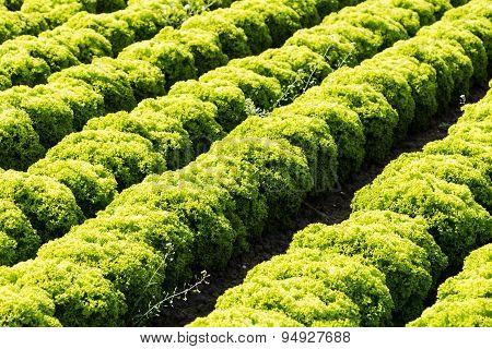 Field With Lollo Bianco Lettuce