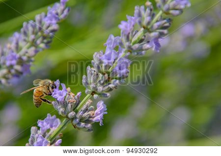 Bee Gathering Pollen On A Sprig Of Lavender