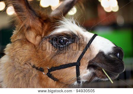 Closeup Of Beautiful Llama