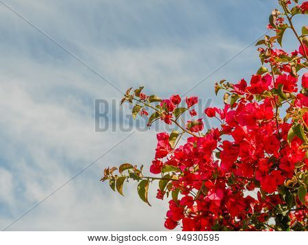 Background Red Bougainvillea Flower In Cyprus