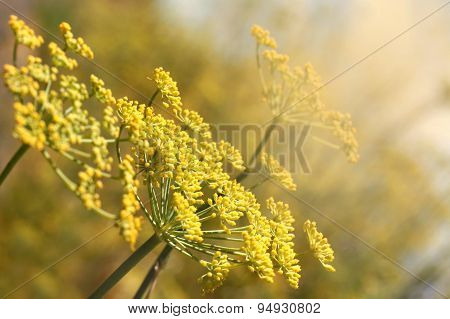 Yellow Dill