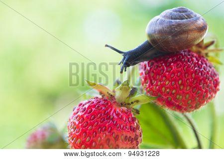 Garden snail creeping on a strawberry