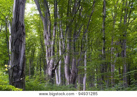 Spring beech forest in the mountains
