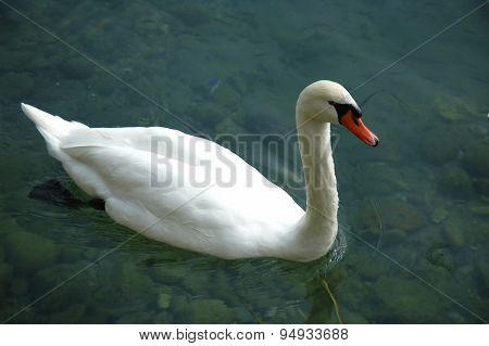 Swimming Swan On A River