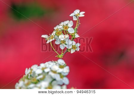White Flowers On A Red Background