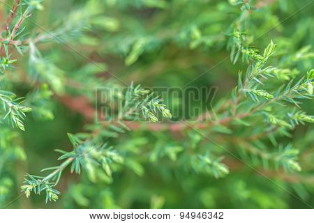 Green Pine Branch On A Green Background