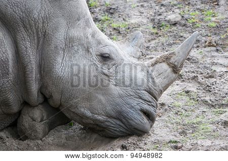 Close-up Of A White Rhino