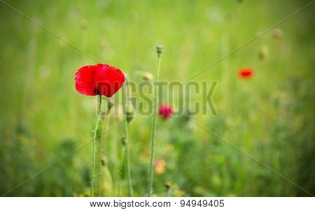 One red poppy in a green field