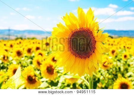 Large close up beautiful sunflower at field landscape and cloudy blue sky