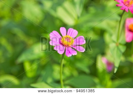 Abstract Blurred Zinnia Flower