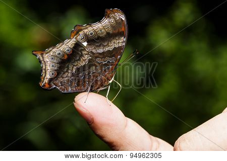 Wizard Butterfly (rhinopalpa Polynice) Sucking Food