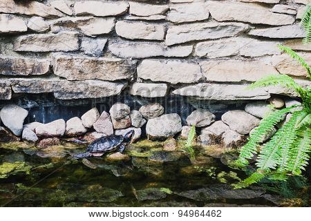 Red-eared turtle in a pond