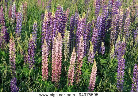 Colorful summer wildflowers lupines among green grass