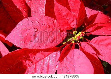 Beautiful Red Poinsettia Flowers In The Nature