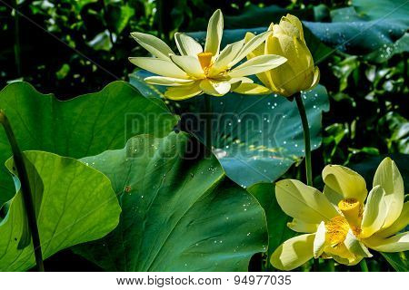 A Beautiful Blooming Yellow Lotus Water Lily Flower