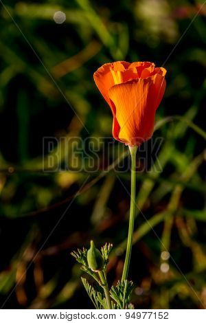 Closeup Shot of a new bud of a single Golden Poppy