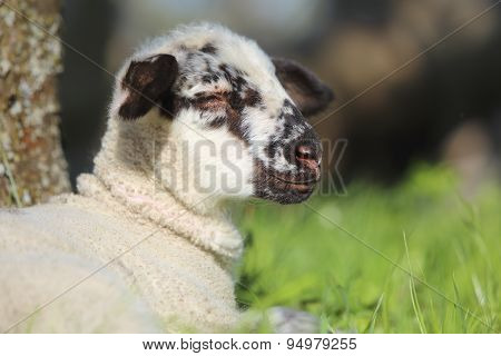 Lamb Lying In Grass