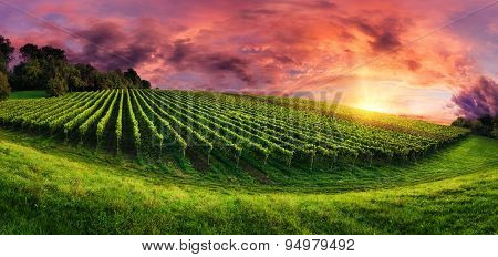 Vineyard Panorama At Magnificent Sunset