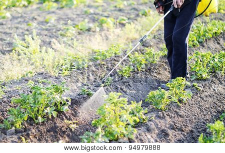 Spraying pesticide of potatoes leaves