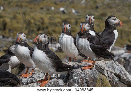 Atlantic puffin congregation